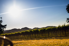 Napa Vineyard (andrewpabon) Tags: sanfrancisco california sun cali vineyard sonoma grapes napa incar winecountry andrewpabon