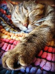 Mani's Nap (elycefeliz) Tags: ohio cat cincinnati mani gato katze friendsofzeusphoebe