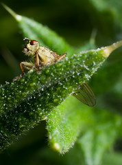 Dung fly - Scatophaga stercoraria (Wesly van Batenburg) Tags: macro fly pentax rings extension dung m50 f17 scatophaga stercoraria pentaxk5 weslyvb weslyvanbatenburg