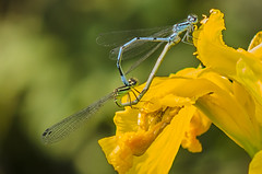 Working on the future (Gies! (back home, trying to catch up)) Tags: mating damselfly waterjuffer paren thegalaxy flickraward flickraward5 mygearandme flickrawardgallery dblringexcellence unlimitedinsectslevel1