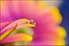 ...history of a tear... (zio paperino) Tags: flower macro nature water colors agua nikon waterdrop natura drop gota tamron 90mm acqua petali goccia caer d90 ziopaperino mygearandme infinitexposure