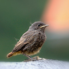 Phoenicurus     ochruros    ( fledgling) (be there ...) Tags: baby bird animal germany square europa flight squareformat junior phoenicurus juvenile fledgling tier vogel quadrat jungvogel phoenicurusochruros ochruros kopciuszek hausrotschwanz rotschwanz piskle mygearandme mygearandmepremium mygearandmebronze mygearandmesilver mygearandmegold mygearandmeplatinum mygearandmediamond