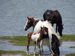 (Erin Eve) Tags: horses chincoteague foal