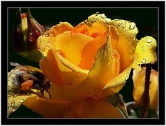 34-Assoife (gio.dino3) Tags: macro rose jaune pollen abeille butinage insecte rose