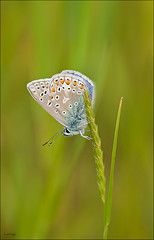 Common Blue ~ Explore (Grasping-air) Tags: blue common