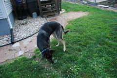 DSC_6397 (aerofan245) Tags: birthday party dog 3 shepherd sage german superhero batman batdog gsd
