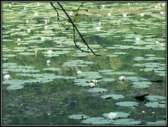 river flows in you ... (giorgio 12) Tags: foglie fiori acqua colori ninfee pastello dedicata sognidreams lefotodigiorgio riverflowsinyou trasognoerealta