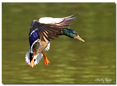 Mallard Flight (Betty Vlasiu) Tags: wild bird nature duck wildlife flight mallard anas platyrhynchos page64 nspp