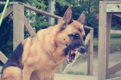 Gaia (laurw) Tags: dog perro germanshepard germansheppard ovejeroaleman