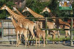 Madiba (lecornelle) Tags: park parco animal animals zoo giraffe leonardo animali giraffa mammifero bioparco cornelle parcofaunistico parconatura zoocornelle leonardodelfini zooitalia zoobergamo zoolombardia