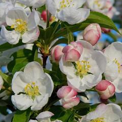 Pretty (suenosdeuomi) Tags: newmexico santafe blossoms railyard crabappleblossoms panasoniclumixdmcfz35