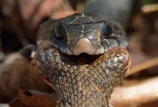 Northern Black Racer Eating Northern Water Snake - 4