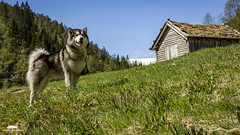 My Alaskan malamute in the countryside (huddart_martin) Tags: dog dogs grass barn countryside malamute