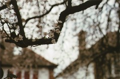 Spring in London II (Lore Stars) Tags: houses naturaleza flores tree london primavera film nature spring blossom bokeh londres fujicolor200 neighbourhood pentaxmv autochinon50mmf17