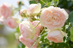 softness (snowshoe hare*(slow)) Tags: flowers rose pastel botanicalgarden バラ pierrederonsard dsc0210 frenchrose ピエール・ド・ロンサール 海の中道海浜公園