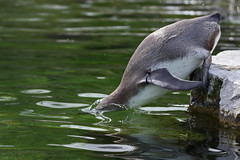 Dive ! Dive ! (mark f2.9) Tags: zoo penguin humboldt wildlife dive diving splash marwell juvenille