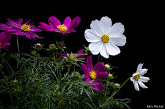 Cosmos (Ken Mickel) Tags: flowers plants flower nature floral gardens closeup blackbackground garden photography flora blossom blossoms upclose cosmos