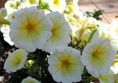 Pay Attention (Khaled M. K. HEGAZY) Tags: white plant flower macro green nature yellow closeup club nikon outdoor egypt pistil petal cairo stamen coolpix petunia sporting maadi p520