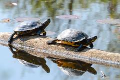 _DSC3163 (gupta.steve) Tags: tier schildkrte reptilien schmuckschildkrte
