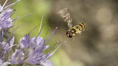 close to touchdown (Niek Goossen) Tags: flower insect flying close purple touchdown