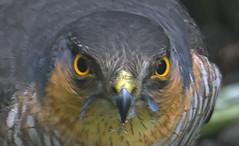 Sparrowhawk in my Garden (wentloog) Tags: uk nature wales canon garden eos feeding britain cymru cardiff sparrow caerdydd 5d prey sparrowhawk grangetown canoneos5d wentloog stevegarrington sparrowhak