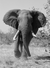 Charging Bull Elephant (pablocito) Tags: africa elephant southafrica power ivory anger bull hundred trunk elephants charge charging tusks kruger tusk pounder hundredpounder