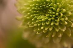 Flower. (bjork fotos) Tags: flower spring blóm gulur