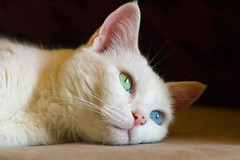 Jasmine (explored) (sue2028) Tags: pet cats white cute animal cat eyes furry chat kitty gato katze petportrait oddeyes
