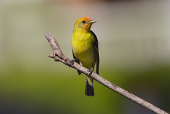 Western Tanager (Hockey.Lover) Tags: birds explore westerntanager ardenwoodhistoricfarm