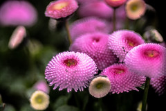 The Drop and Pink all over (*Capture the Moment*) Tags: flowers munich mnchen bokeh pflanzen blumen botanicgardens 2016 botanischergarten meyergrlitztrioplan10028 seifenblasenbokeh