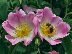 Double Banquet. Rosa canina, Dog-Rose, and a Mining Bee, Andrena sp., Oc-weerd, Meuse Corridor, Venlo, The Netherlands (Rana Pipiens) Tags: pink bee bumblebee dogrose rosacanina miningbee andrenasp ocweerdmeusecorridorvenlothenetherlands
