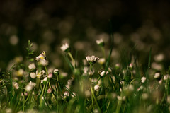 Daisy in night bokeh (Nikan Likan) Tags: street white paris green field grass yellow night vintage lens prime bokeh grlitz german m42 daisy manual pentacon depth meyer 135mm bellis | 2016 perennis preset 28 optik pquerettes orestor