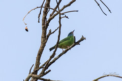 Day 2 Blue Dacnis  (female)2_14_16 (1 of 1)-2 (LWallace2) Tags: birds panama bluedacnis