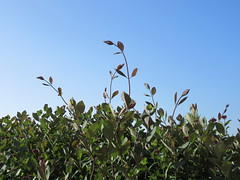 Tuesday, Still cutting back the honeysuckle IMG_7633 (tomylees) Tags: morning blue sky garden spring may tuesday honeysuckle essex 17th 2016