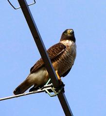"Gaviln pollero""Taguat comn"" (jagar41_ Juan Antonio) Tags: aves pjaros ave animales pjaro gavilan taguat taguatcomn gavilnpollero"