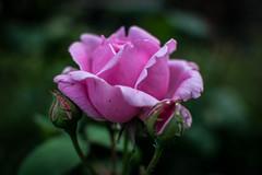 Roses are pink (pillarsoflight) Tags: beauty oregon 35mm portland prime aperture nikon adobe pdx 18 pnw lightroom d3300