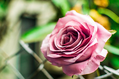 Rose in a corner (pillarsoflight) Tags: door pink flowers brown flower green nature beauty rose yellow oregon 35mm portland spiral prime grey aperture nikon gray adobe pdx 18 pnw lightroom wideaperture d3300