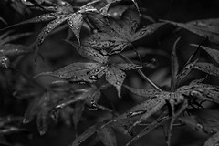 Black Leaves - June 2016 (GOR44Photographic@Gmail.com) Tags: bw white black macro tree wet water leaves garden mono drops acer fujifilm xpro1 tamron3570mmf35 gor44 3570mmf35fd