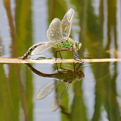 Emperor Dragonfly (wessyfiesta) Tags: dragonfly bugs wings buzz fly emperor insects