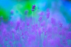 Lavender (Hideo N) Tags: lavender purple   nature raindrop bokeh soft