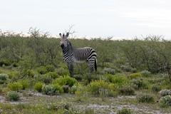 Mountain Zebra Showing His Lovely Legs Here (zenseas : )) Tags: africa wild vacation holiday fun driving safari zebra namibia etosha dolomite mountainzebra selfdrive etoshanationalpark selfdrivesafari hartmannsmountainzebra hartmannszebra equuszebrahartmannae