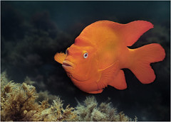 Lone Garibaldi (www.bc3.photography) Tags: california fish nature catalina diving scubadiving garibaldi animalplanet