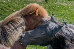 Icelandic Horse-5762 (Dante's Paparazzi) Tags: horses handheld apertureacademy iceland2016