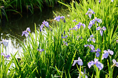 14Yamada Pond Park (anglo10) Tags: flower japan