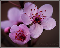 Flowering Plum (GFletch -- persistently behind :)) Tags: pink macro water blossom drop floweringplum