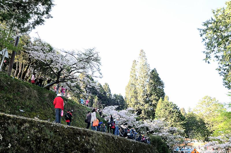 阿里山櫻花季33