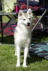 Maiev (Alexandra Kimbrough) Tags: show california dog miniature husky mini front kai nordic claremont northern klee alaskan ukc conformation akk