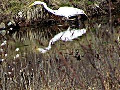 Great Egret (PRS North Star) Tags: reflection reflections greategret herons greategrets pondlife fishingbirds parkerdamstatepark parkerdamstateparkpa