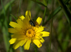 impollinato (voyager7000) Tags: sardegna macro sardinia natura fiori prato insetti nuxis voyager7000