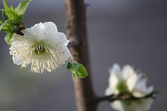IMG_2377.jpg (dcstrebe) Tags: china asia plumblossomfestival